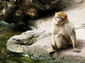 Lonely Monkey Ape at Zoo