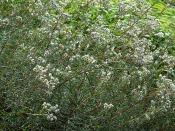 This image shows a few plants of the species Pearly Everlasting (Anaphalis margaritacea).