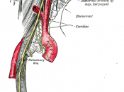 Course and distribution of the glossopharyngeal, vagus, and accessory nerves.