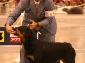 Rottweiler breed competition at the Reliant Arena American Kennel Club World Series Dog Show July 23, 2006. Are we watching the humans or the dogs?