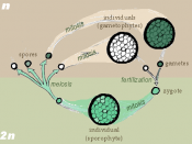English: Drawn by self for Biological life cycle Cut-&-merge halves :Image:Zygotic_meiosis.png & :Image:Gametic_meiosis.png. Based on Freeman & Worth's Biology of Plants (p. 171). he:תמונה:Sporic meiosis1.png