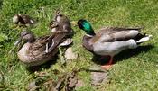 English: Male, female and ducklings Mallard