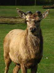 Antlers at the start of the season, cervus elaphus, deinze, belgium