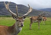 Red deer stag (Cervus elaphus) with velvet antlers in Glen Torridon, Scotland Français : Cerf élaphe en Écosse.