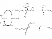 English: Reaction mechanism for the inhibition of ornithine decarboxylase by the suicide inhibitor difluromethylornithine (DFMO or Eflornithine) Poulin R, Lu L, Ackermann B, Bey P, Pegg AE. Mechanism of the irreversible inactivation of mouse ornithine dec