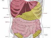 Anterior view of the position of the liver (red) in the human abdomen.