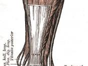 The Achilles' tendon. PD image from Gray's Anatomy, from bartleby.com .