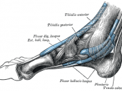 The mucous sheaths of the tendons around the ankle. Medial aspect.