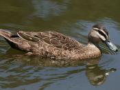 English: Female Mallard duck (Anas platyrhynchos) in Northam Lake, Victoria Park, Sydney, New South Wales (NSW), Australia.