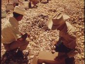 Industrious scavengers take advantage of processing plants offer of