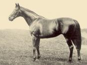 English: Bayardo, b.h. 1906 by Bay Ronald from Galicia by Galopin
