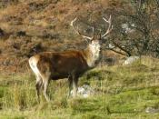 English: Red Deer stag near Deanie.
