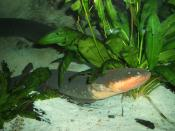 The electric eel uses electric shocks for both hunting and self-defense.
