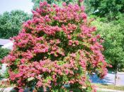 English: A large Lagerstroemia (crepe myrtle) grown to a height of more than 12 ft (4m) Lutherville, Maryland 25px