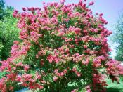 Lagerstroemia (crepe myrtle) in full bloom in late-July Lutherville, Maryland 25px