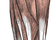 Front of the left forearm. Superficial muscles. (Common flexor tendon not labeled, but region is visible at upper left.)