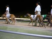 Several greyhounds before a race.