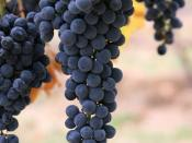 English: Wine grapes. Español: Uvas de vino rojo. Русский: Грозди винограда.