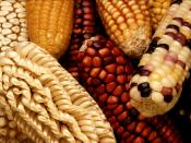 To increase the genetic diversity of U.S. corn, the Germplasm Enhancement for Maize (GEM) project seeks to combine exotic germplasm, such as this unusually colored and shaped maize from Latin America, with domestic corn lines. U Deutsch: Maiskolben