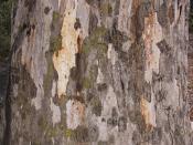 River red gum trunk/bark detail (Eucalyptus camaldulensis)