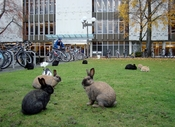 English: University of Victoria library, bikes, and rabbits.