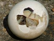 Reptiles have amniotic eggs with hard or leathery shells, requiring internal fertilization.