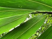 Organic Green Leafs of Bamboo