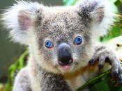 Close-up of a blue-eyed koala