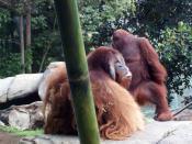 English: San Diego Zoo orangutans