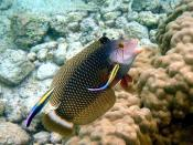 English: A dragon wrasse, Novaculichthys taeniourus is being cleaned by Rainbow cleaner wrasses, Labroides phthirophagus on a reef in Hawaii. Français : Une girelle dragon (Novaculichthys taeniourus) se fait déparasiter par des labres nettoyeurs dans un r