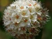 Pacific Ninebark - The Flowers