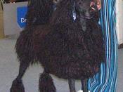 A black corded Standard Poodle. Deutsch: Grosspudel, schwarz Schnürenfrisur