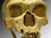 English: Homo neanderthalensis. Skull discovered in 1908 at La Chapelle-aux-Saints (France).