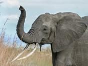 English: A female African Bush Elephant raises her trunk as a warning sign in Mikumi National Park, Tanzania