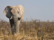 Male elephant in Etosha National Park, Namibia Kiswahili: Tembo katika mbuga la burudani Etosha, Namibia