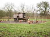 English: Chicken Run Free range hens at Minting