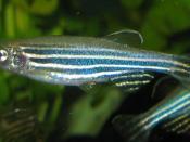 Danio rerio, better known as the zebrafish