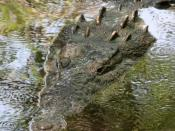 American crocodile (Crocodylus acutus). This photograph was taken at La Manzanilla, Jalisco State in Mexico, on the Pacific Coast.