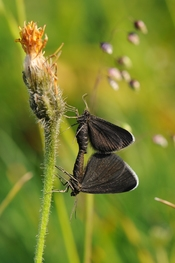 The Chimney Sweeper (Odezia atrata) is a moth of the family Geometridae. It is found throughout Europe.