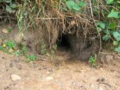 English: Entrance to a rabbit warren.