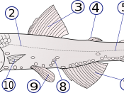 The anatomy of Lampanyctodes hectoris (1) – operculum (gill cover), (2) – lateral line, (3) – dorsal fin, (4) – fat fin, (5) – caudal peduncle, (6) – caudal fin, (7) – anal fin, (8) – photophores, (9) – pelvic fins (paired), (10) – pectoral fins (paired)