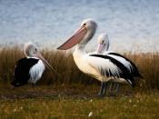 English: Three Australian Pelicans in Tasmania, Australia