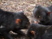 English: Three Tasmanian Devils feeding at the Tasmanian Devil Conservation Park in Port Arthur.