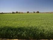 English: An heat affected Barely or Wheat crop during an green drought in Gregadoo, New South Wales. Photograph was taken the temperature was 26.3°C, Dew point; -5.0°C and Relative humidity; 12%.