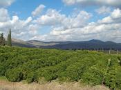 Lemon Orchard in the Galilee, Israel
