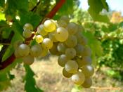 English: Sauvignon blanc wine grape. Location: Vlasotince vineyards, southeast Serbia. Français : Grappe de raisin du cépage Sauvignon Blanc. Photo prise dans le vignoble de Vlasotince, dans le sud-est de la Serbie.