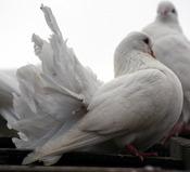 English: A little White Dove