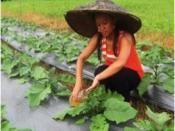 wg 5 Urine applied on petchay crops in Cagayan de Oro, Philippines