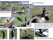 Goose attack!