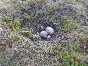 Arctic Tern (Sterna paradisaea) nest with two eggs, photographed in Thingvellir National Park, Iceland.